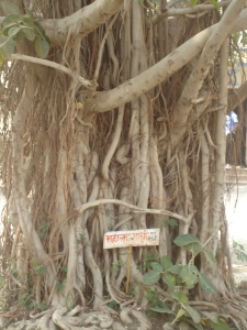 Tangled prop roots of a tree in Ralegan Siddhi