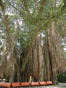 The beautiful prop roots of a Banyan tree in Ralegan Siddhi
